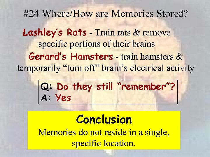 #24 Where/How are Memories Stored? Lashley's Rats - Train rats & remove specific portions