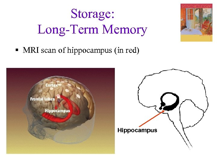Storage: Long-Term Memory § MRI scan of hippocampus (in red) Hippocampus