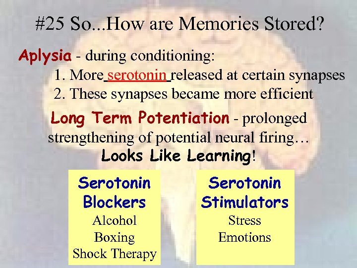 #25 So. . . How are Memories Stored? Aplysia - during conditioning: 1. More