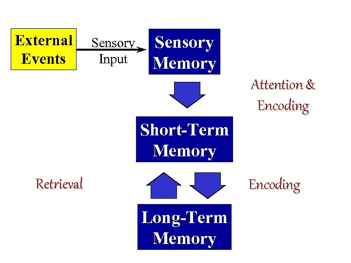 External Events Sensory Input Sensory Memory Attention & Encoding Short-Term Memory Retrieval Encoding Long-Term