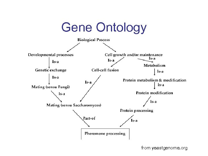 Gene Ontology from yeastgenome. org