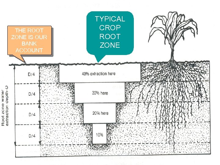 THE ROOT ZONE IS OUR BANK ACCOUNT TYPICAL CROP ROOT ZONE