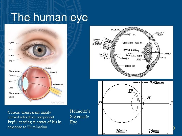 The human eye Corena: transparent highly curved refractive component Pupil: opening at center of