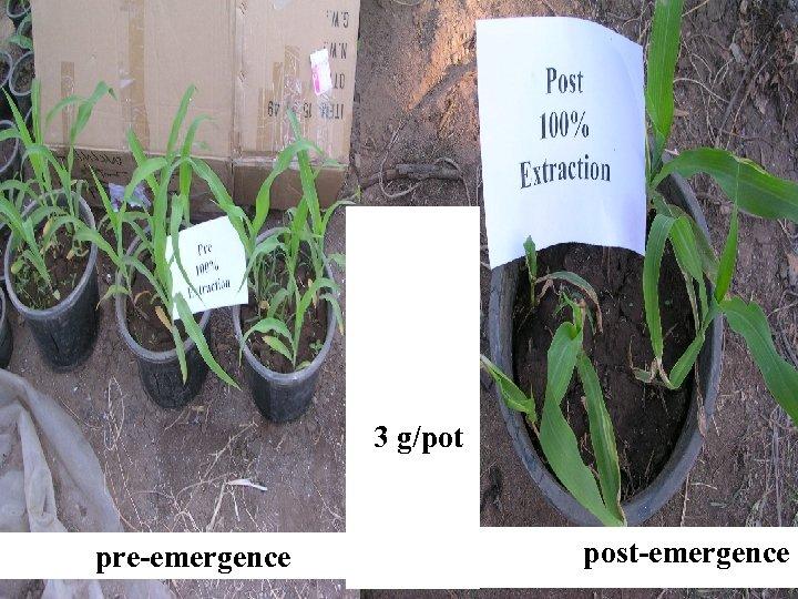 Artemisi a plant 3 g/pot pre-emergence post-emergence