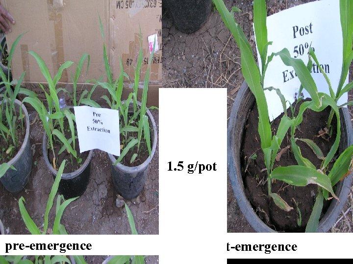 Artemis ia plant 1. 5 g/pot pre-emergence post-emergence