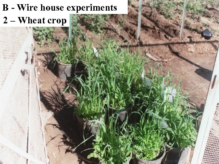 B - Wire house experiments 2 – Wheat crop