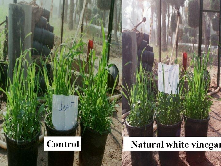 Control Natural white vinegar