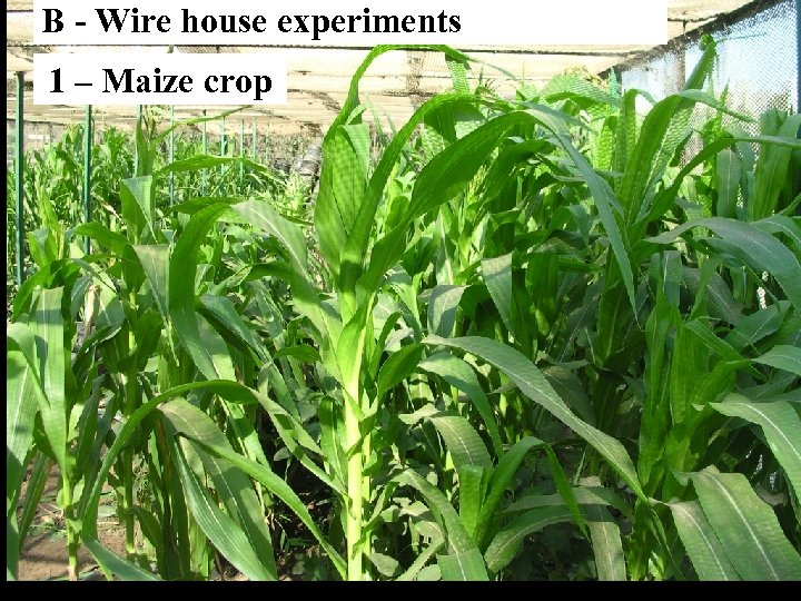 B - Wire house experiments 1 – Maize crop