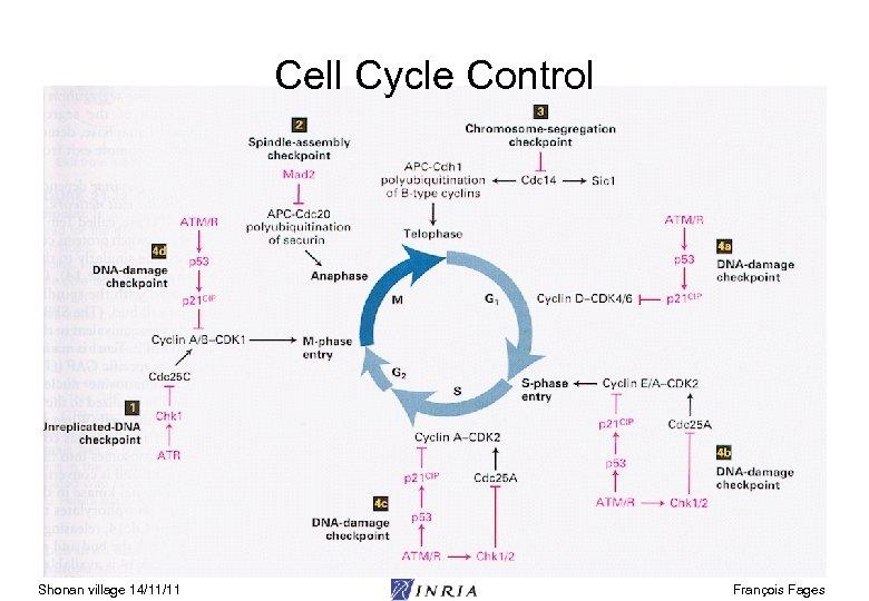 Cell Cycle Control Shonan village 14/11/11 François Fages