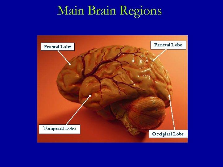 Main Brain Regions Frontal Lobe Parietal Lobe Temporal Lobe Occipital Lobe