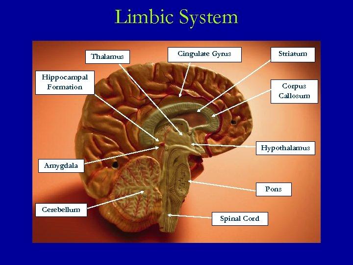 Limbic System Thalamus Cingulate Gyrus Hippocampal Formation Striatum Corpus Callosum Hypothalamus Amygdala Pons Cerebellum