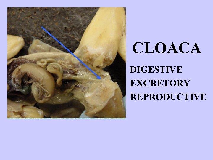 CLOACA DIGESTIVE EXCRETORY REPRODUCTIVE