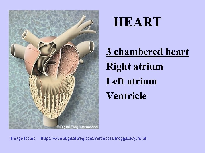 HEART 3 chambered heart Right atrium Left atrium Ventricle Image from: http: //www. digitalfrog.