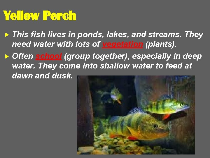 Yellow Perch This fish lives in ponds, lakes, and streams. They need water with