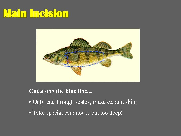 Main Incision Cut along the blue line. . . • Only cut through scales,