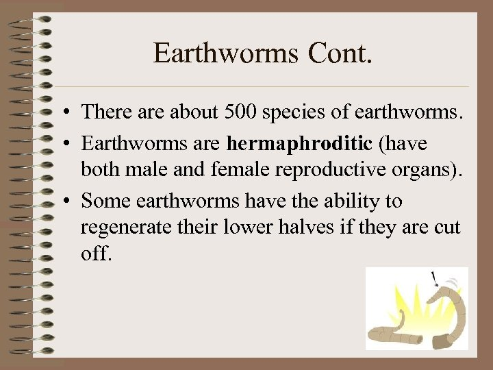 Earthworms Cont. • There about 500 species of earthworms. • Earthworms are hermaphroditic (have