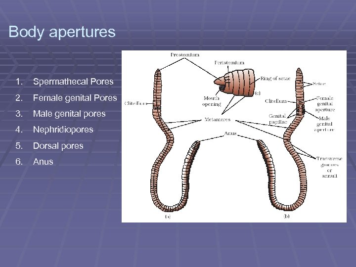 Body apertures 1. Spermathecal Pores 2. Female genital Pores 3. Male genital pores 4.
