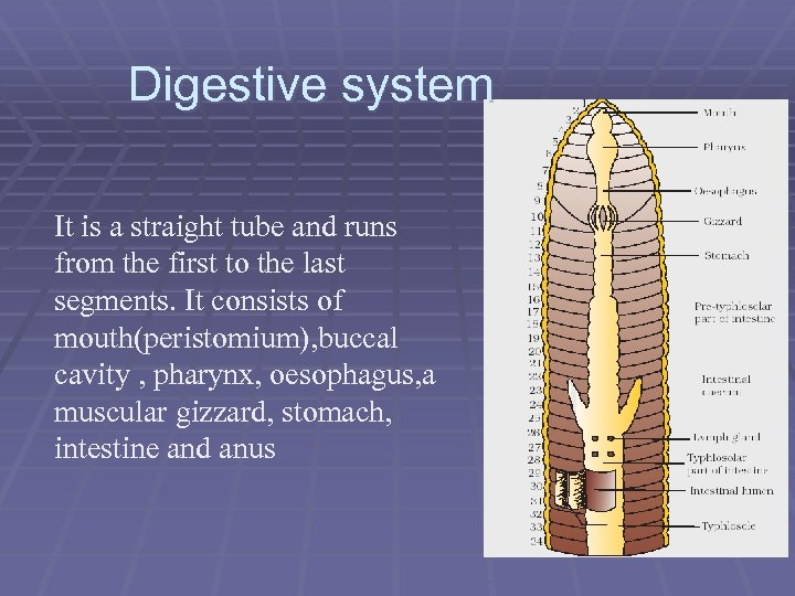 Digestive system It is a straight tube and runs from the first to the