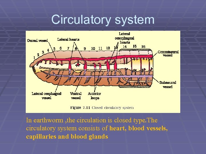 Circulatory system In earthworm , the circulation is closed type. The circulatory system consists