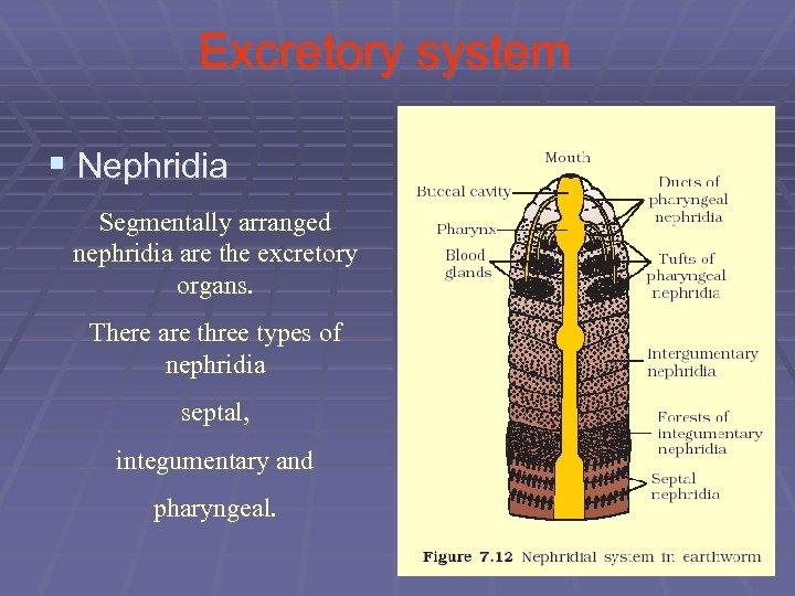Excretory system § Nephridia Segmentally arranged nephridia are the excretory organs. There are three
