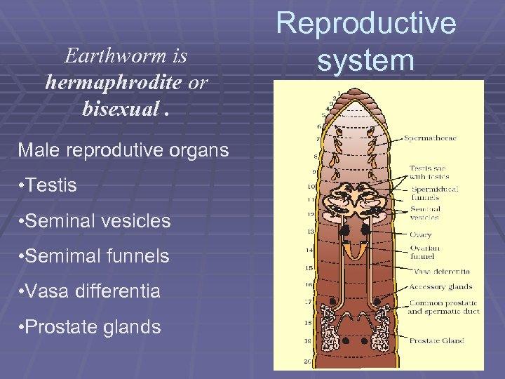 Earthworm is hermaphrodite or bisexual. Male reprodutive organs • Testis • Seminal vesicles •