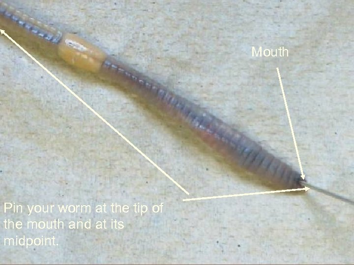 Mouth Pin your worm at the tip of the mouth and at its midpoint.