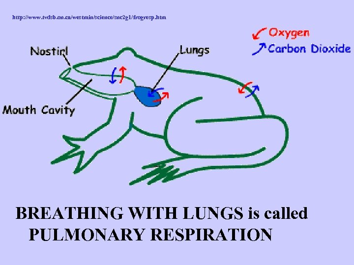 http: //www. tvdsb. on. ca/westmin/science/snc 2 g 1/frogresp. htm BREATHING WITH LUNGS is called