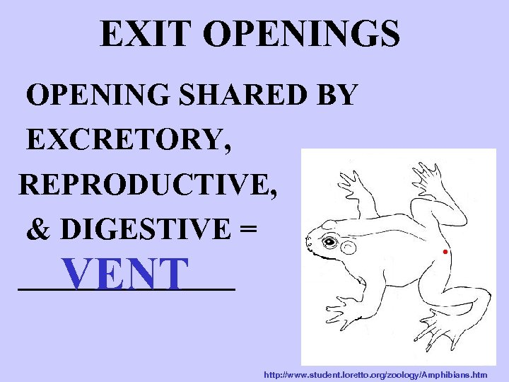 EXIT OPENINGS OPENING SHARED BY EXCRETORY, REPRODUCTIVE, & DIGESTIVE = _______ VENT http: //www.