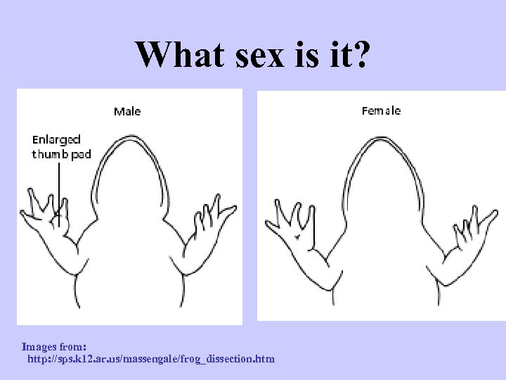 What sex is it? Images from: http: //sps. k 12. ar. us/massengale/frog_dissection. htm