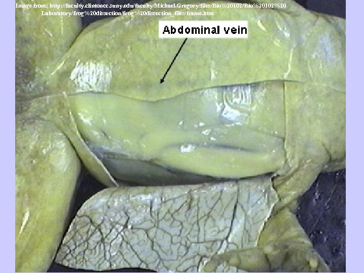 Image from; http: //faculty. clintoncc. suny. edu/faculty/Michael. Gregory/files/Bio%20102%20 Laboratory/frog%20 dissection_files/frame. htm