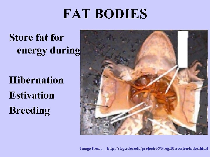 FAT BODIES Store fat for energy during Hibernation Estivation Breeding Image from: http: //step.
