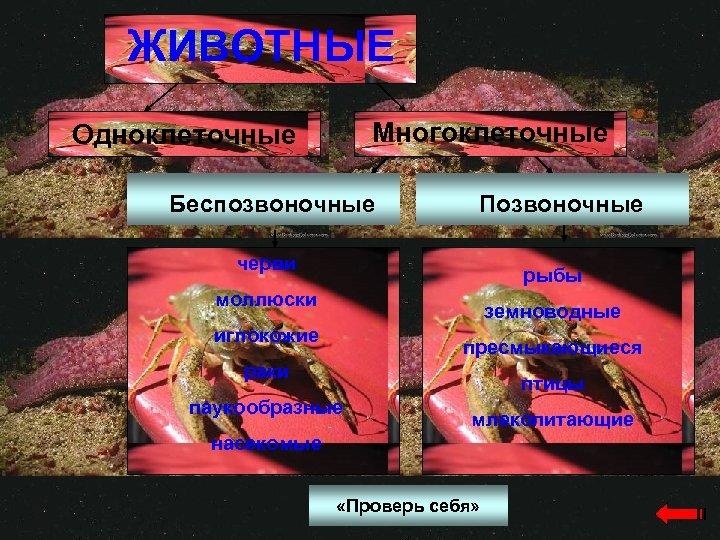 ЖИВОТНЫЕ Многоклеточные Одноклеточные Беспозвоночные Позвоночные черви рыбы моллюски земноводные иглокожие пресмыкающиеся раки птицы паукообразные