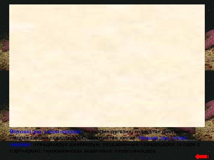 Верхний ряд, слева направо: планария дугезия, глазчатая филлидия, подражающий псевдоцерос, золотистая юнгия. Нижний ряд,