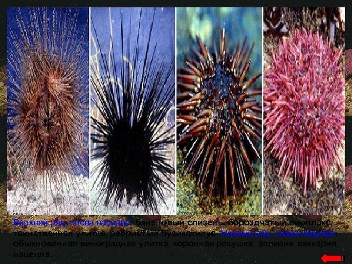 Верхний ряд, слева направо: банановый слизень, бороздчатый лиоплакс, таинственная улитка, ребристый бузикотипус. Нижний ряд,
