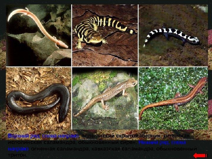 Верхний ряд, слева направо: аллеганский скрытожаберник, китайская исполинская саламандра, обыкновенный сирен. Нижний ряд, слева