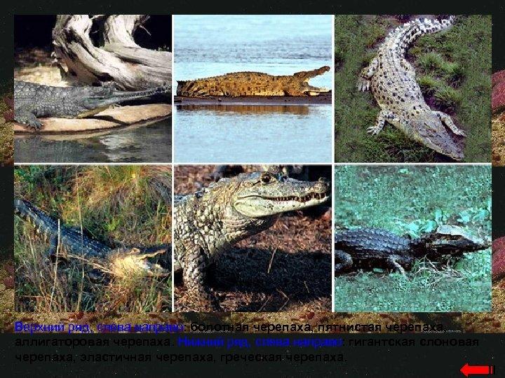 Верхний ряд, слева направо: болотная черепаха, пятнистая черепаха, аллигаторовая черепаха. Нижний ряд, слева направо: