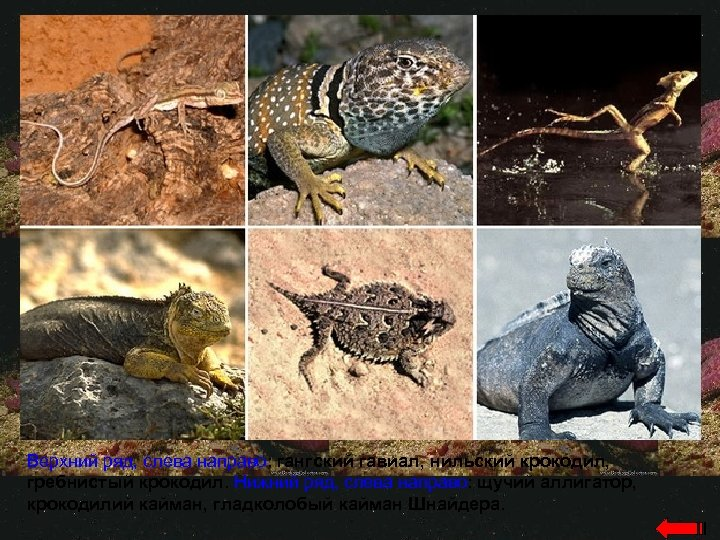 Верхний ряд, слева направо: гангский гавиал, нильский крокодил, гребнистый крокодил. Нижний ряд, слева направо: