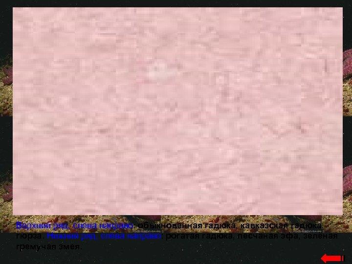 Верхний ряд, слева направо: обыкновенная гадюка, кавказская гадюка, гюрза. Нижний ряд, слева направо: рогатая