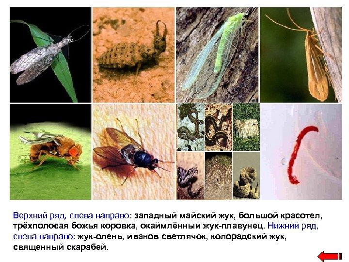 Верхний ряд, слева направо: западный майский жук, большой красотел, трёхполосая божья коровка, окаймлённый жук-плавунец.