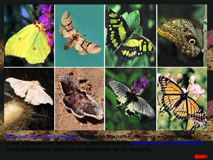 Верхний ряд, слева направо: болотная хохлатка, личинка муравьиного льва, украшенная златоглазка, гесперофилакс. Нижний ряд,