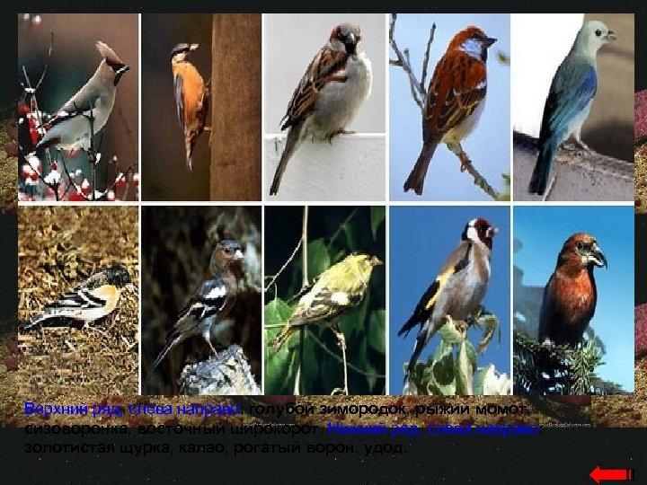 Верхний ряд, слева направо: голубой зимородок, рыжий момот, сизоворонка, восточный широкорот. Нижний ряд, слева