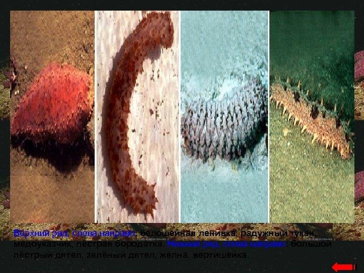 Верхний ряд, слева направо: белошейная ленивка, радужный тукан, медоуказчик, пёстрая бородатка. Нижний ряд, слева