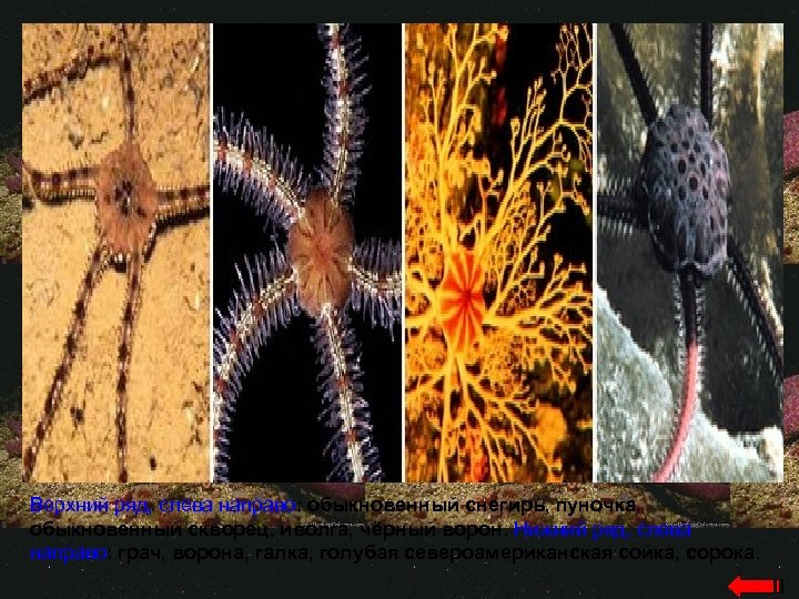Верхний ряд, слева направо: обыкновенный снегирь, пуночка, обыкновенный скворец, иволга, чёрный ворон. Нижний ряд,