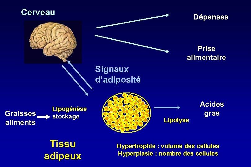 Cerveau Dépenses Prise alimentaire Signaux d'adiposité Graisses aliments Lipogénèse stockage Tissu adipeux Lipolyse Acides