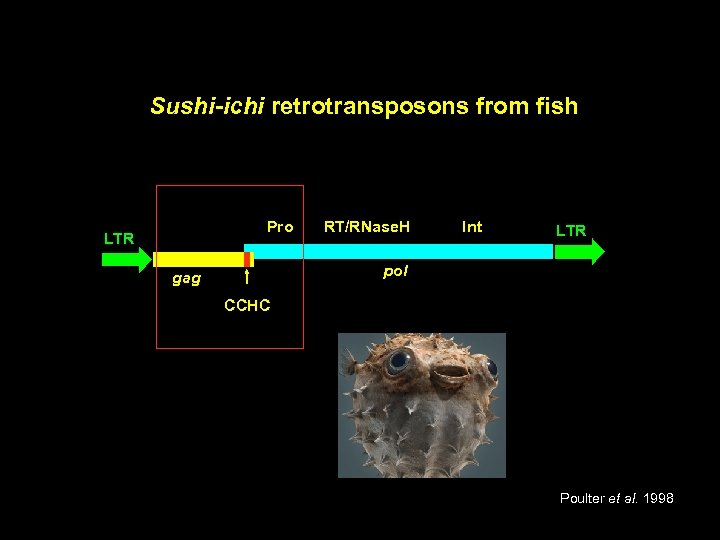 Sushi-ichi retrotransposons from fish Pro LTR RT/RNase. H Int LTR pol gag CCHC Poulter