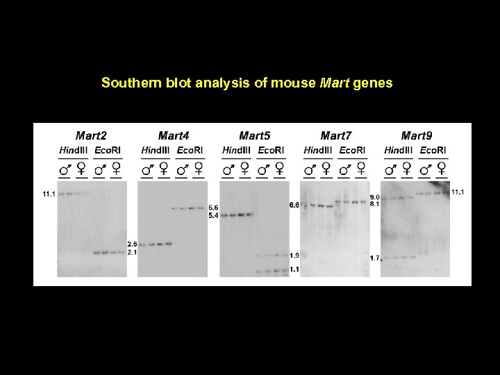 Southern blot analysis of mouse Mart genes