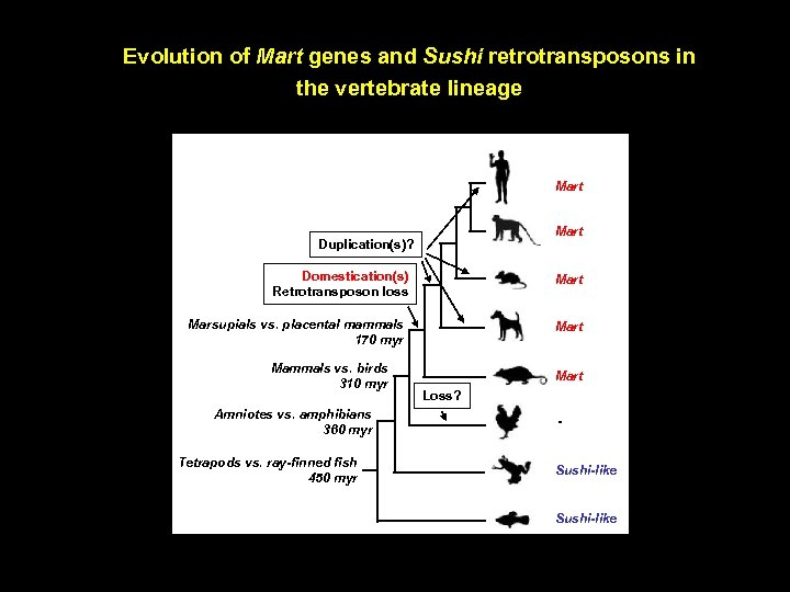 Evolution of Mart genes and Sushi retrotransposons in the vertebrate lineage Mart Duplication(s)? Domestication(s)