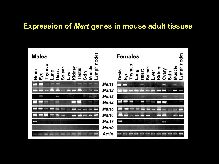 Expression of Mart genes in mouse adult tissues