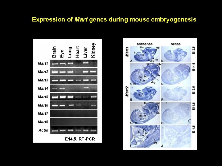 Expression of Mart genes during mouse embryogenesis E 14. 5, RT-PCR