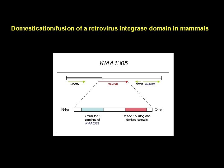 Domestication/fusion of a retrovirus integrase domain in mammals KIAA 1305 NFATC 4 KIAA 1305